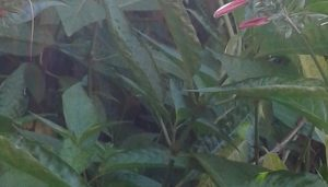 Sangria, excelente planta medicinal