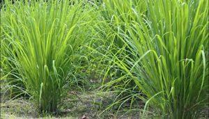 PLANTA CON MULTIPLES BENEFICIOS