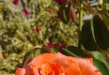 Rosa injerta con pétalos gruesos