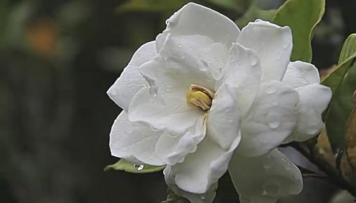 Gardenia, planta acidófila de hermosas flores