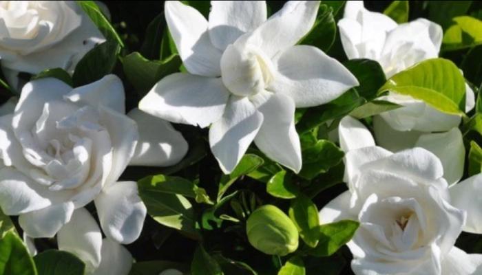 Flores de gardenia