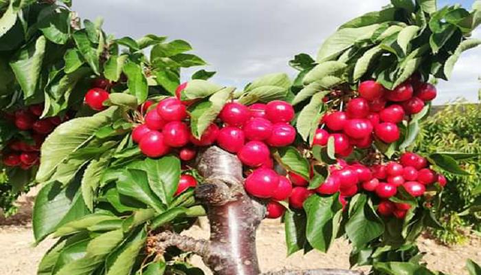 Cerezo, árbol de cerezas