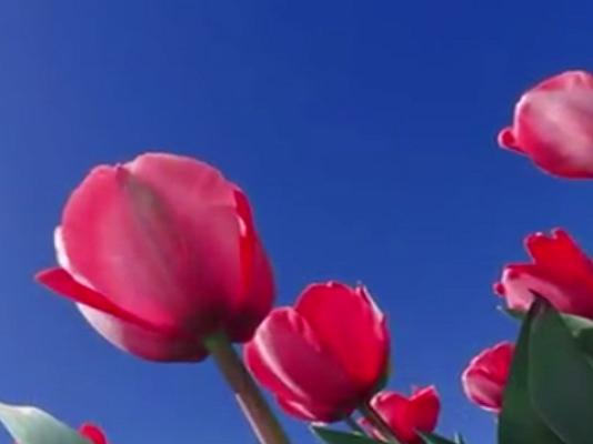 Tulipanes amarillos