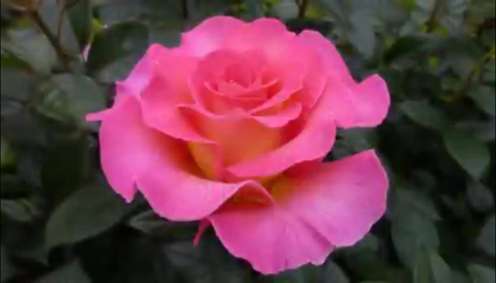 Significado De Las Rosas Según Su Color Trucos Para Plantar Tallos