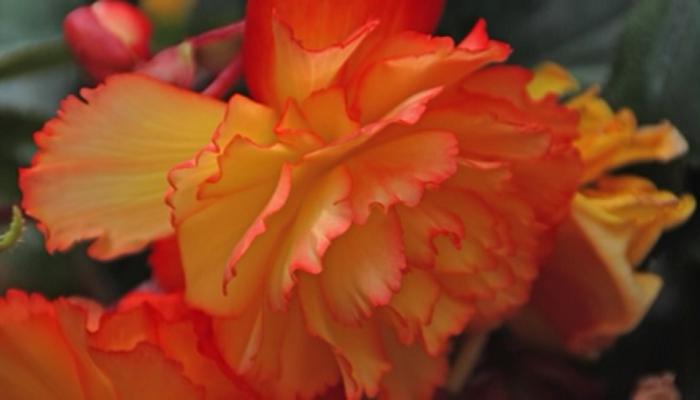 Begonias Caracteristicas Tipos Cuidados Y Cultivo Cosas De