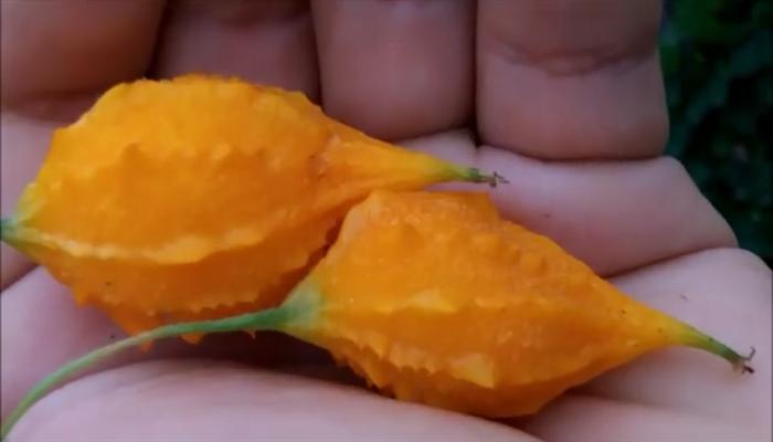 Fruto maduro de cundeamos