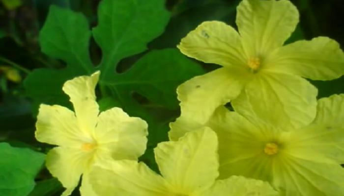 Flores de cundeamor hemafroditas