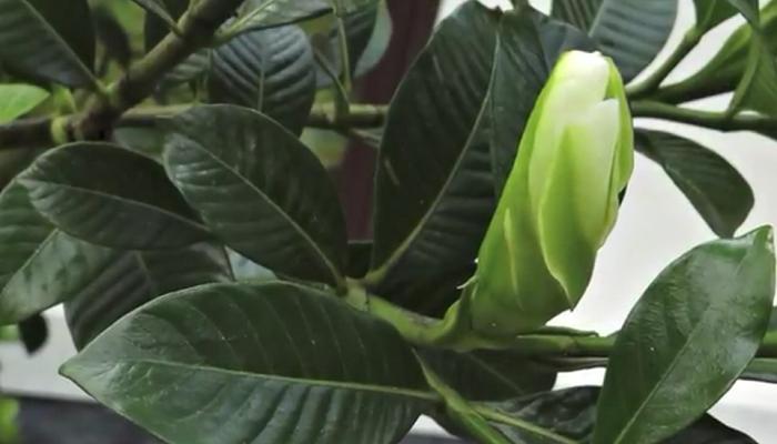Las hojas de la gardenia de forma elípticas opuestas