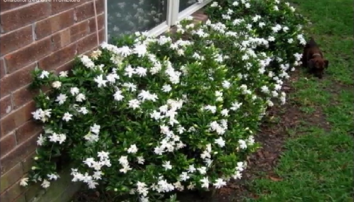 La gardenia es un arbusto, con flores fragantes