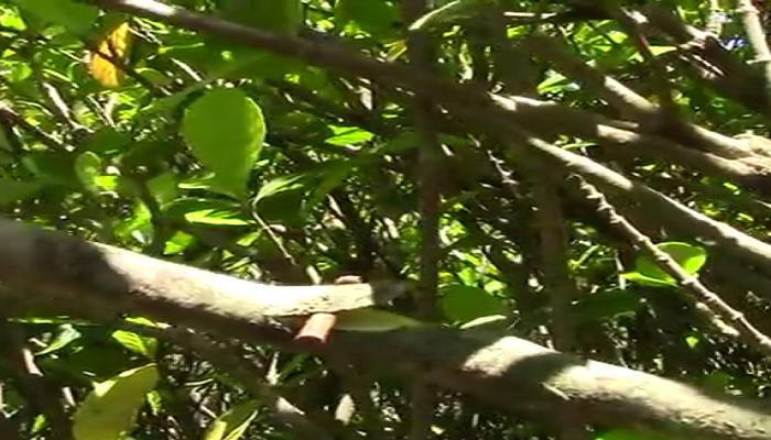 Semi corte del esqueje de gardenia para reproducción por acodo