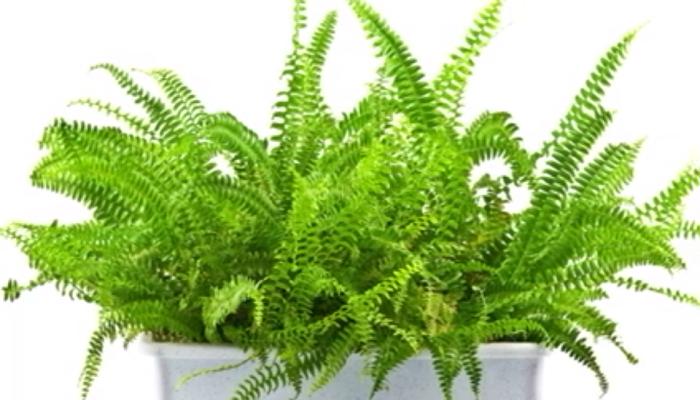 Helecho planta de sombra