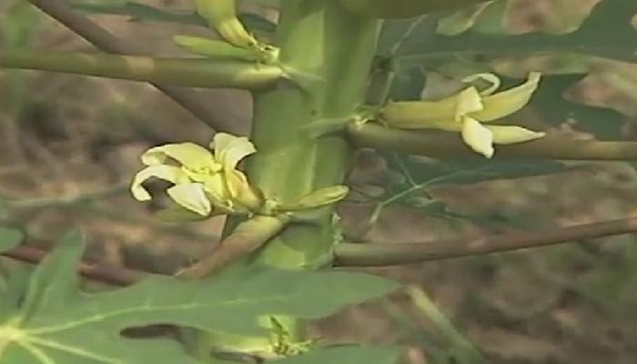 Flor femenina de papayo