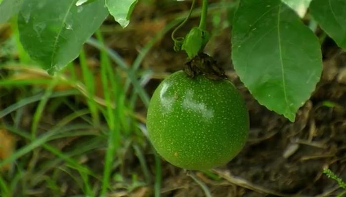 Maracuya verde