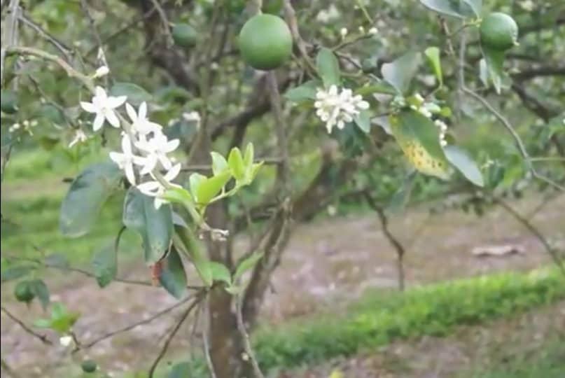 Limonero con flores y fruto