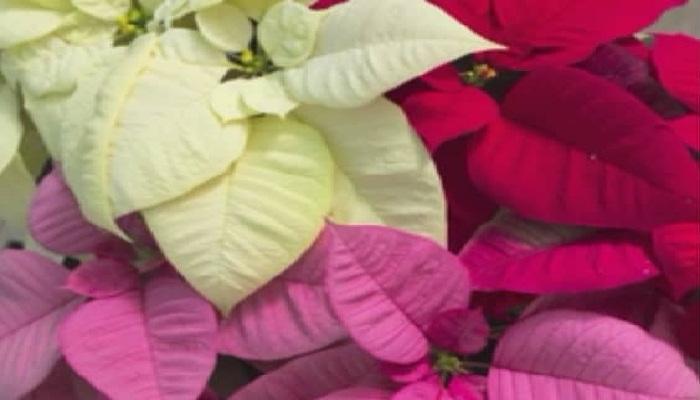 La flor de pascuas, características y cuidados