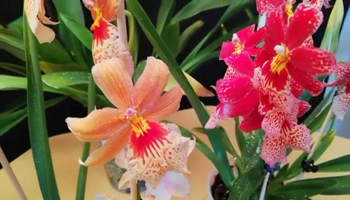 son una de las especies de plantas con flores, más comunes y más diversas en el mundo.