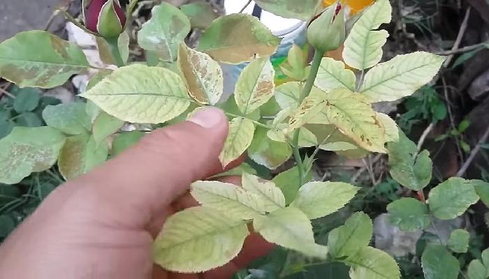 Potasio para las plantas, recetas caseras