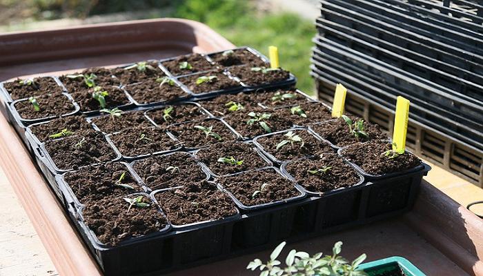 Cultivar tomateras