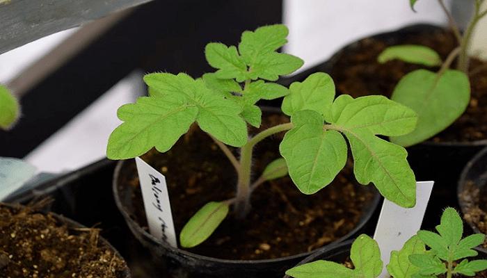 Como plantar tomates paso a paso.
